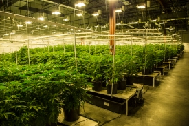 Terrapin Care Station has four cultivation facilities. The Aurora complex seen here is 15,000 square feet and houses 3,000 marijuana plants in various stages of growth.